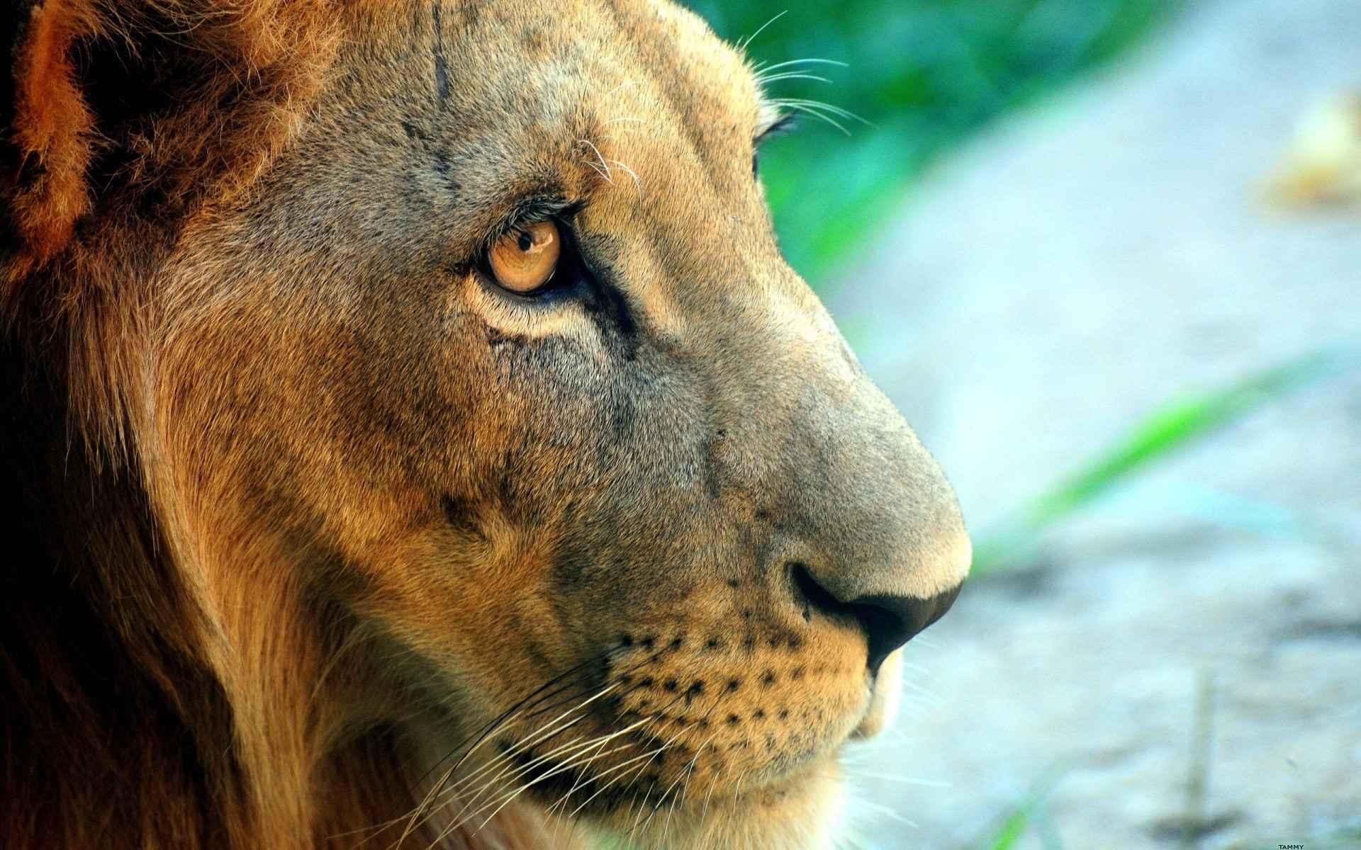 Lion Wallpaper 001