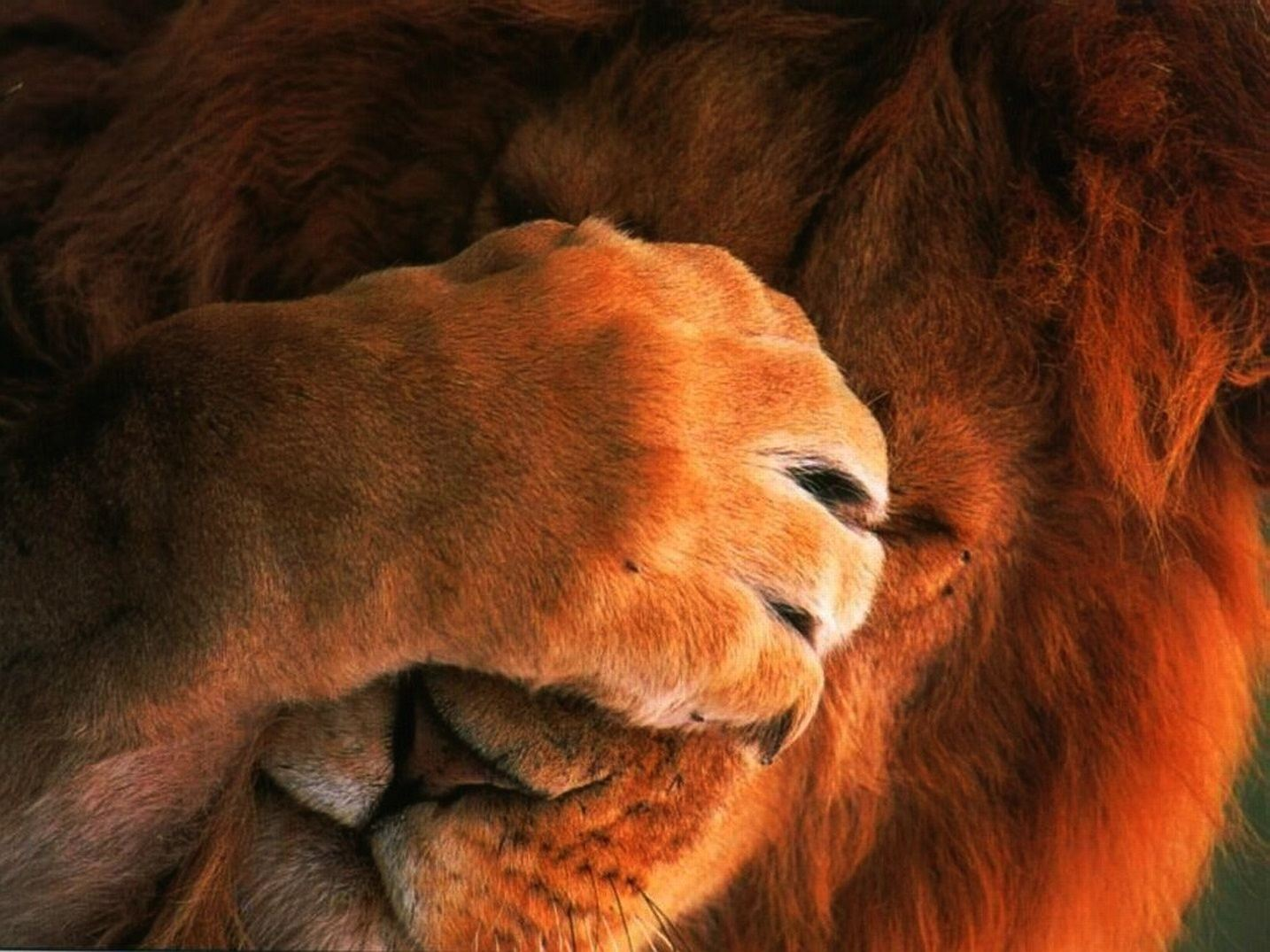 Lion Wallpaper 012