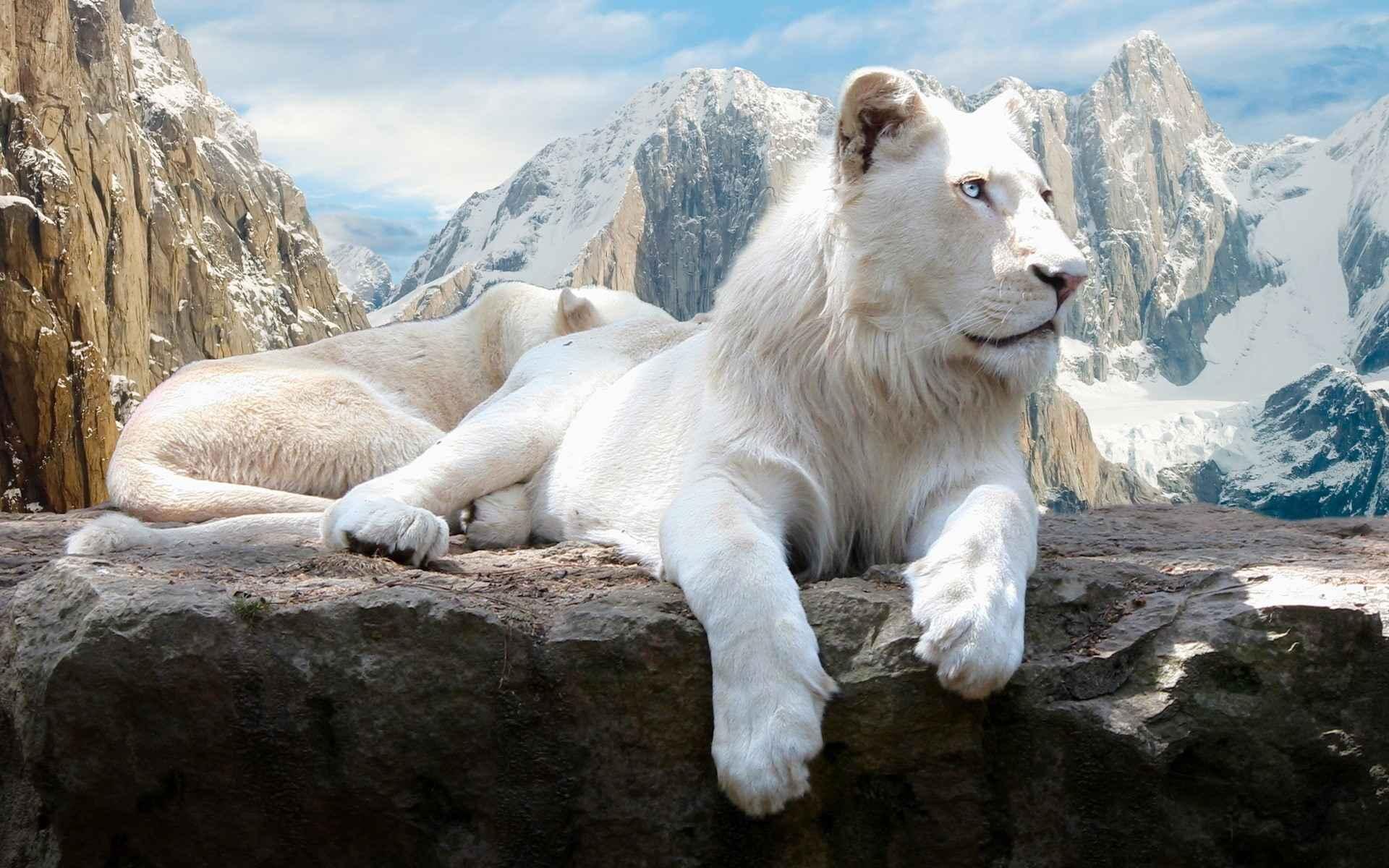 Lion Wallpaper 019