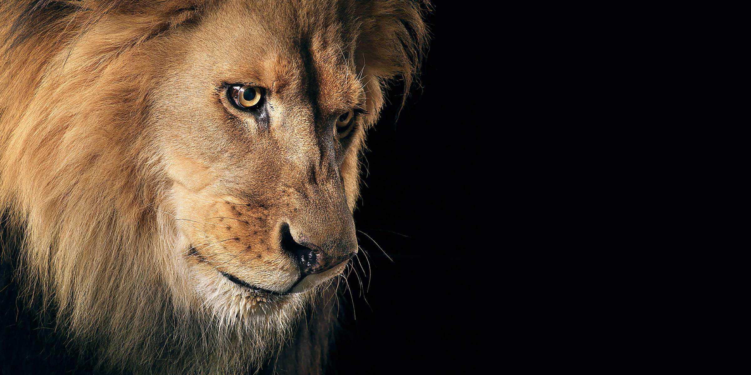 Lion Wallpaper 020