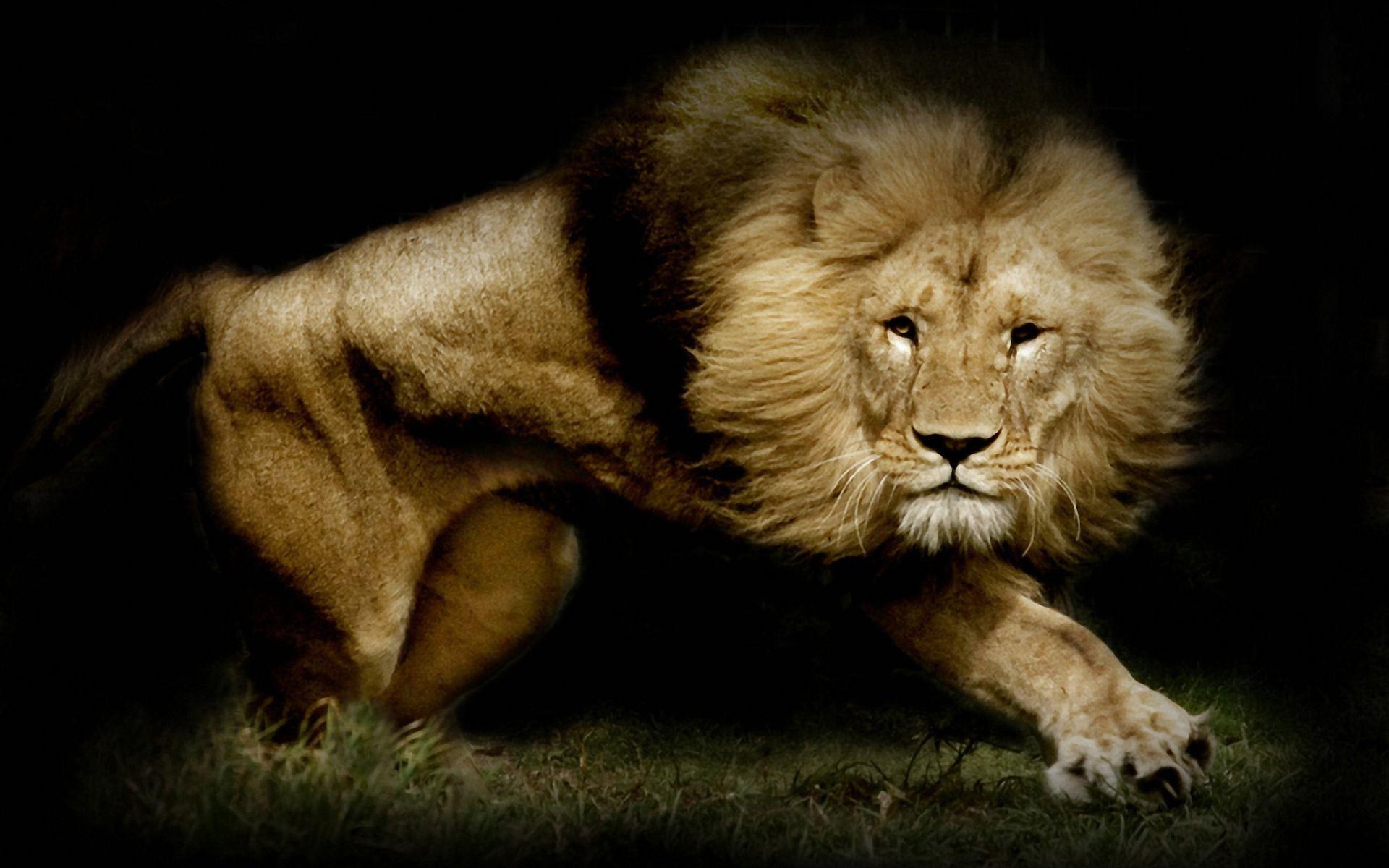 Lion Wallpaper 022