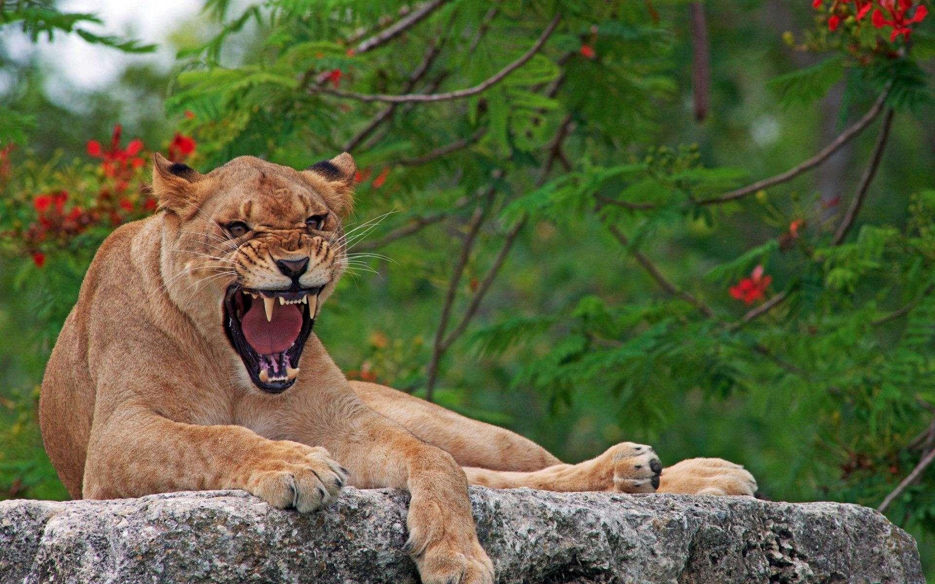 Lion Wallpaper 028