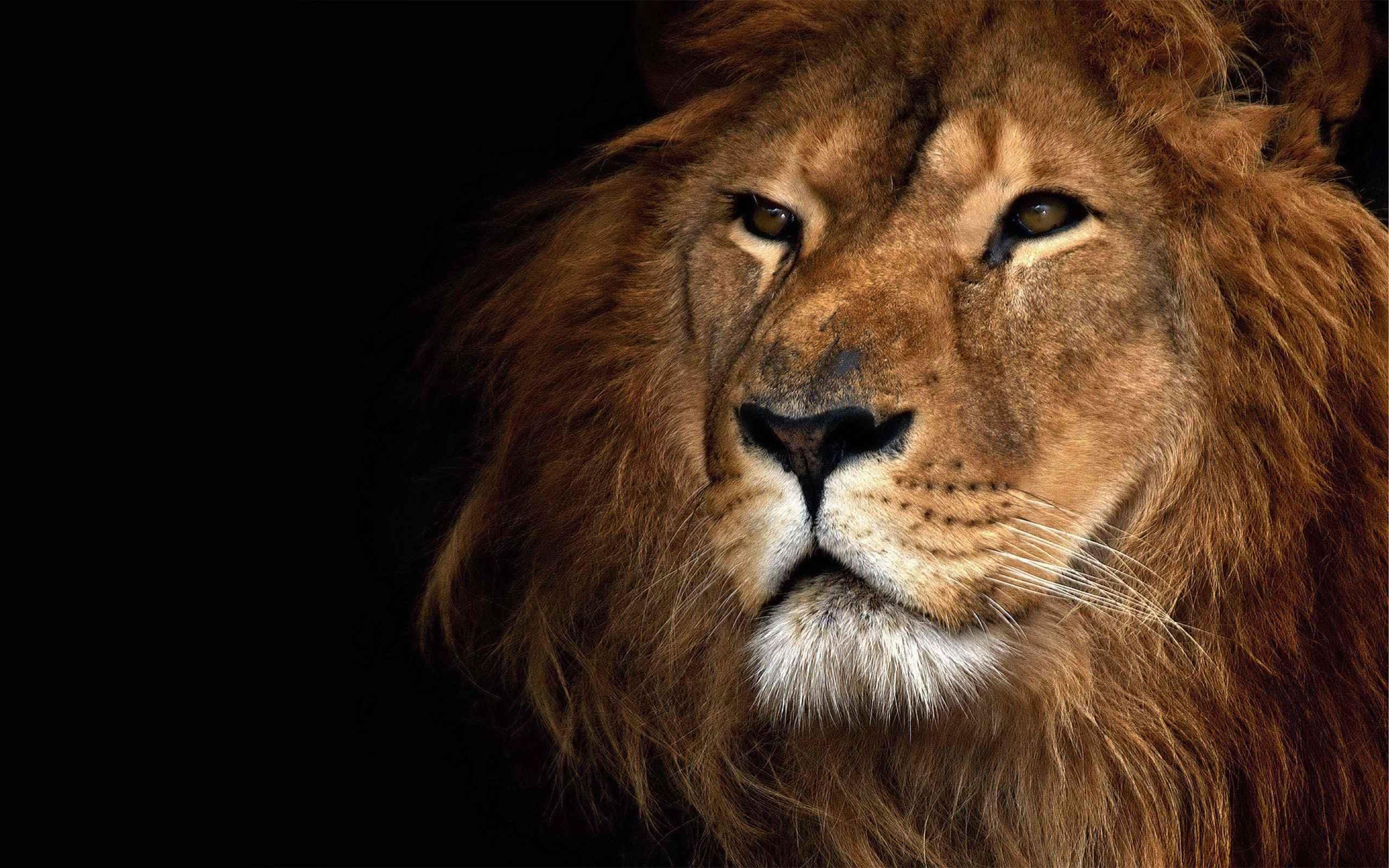 Lion Wallpaper 030