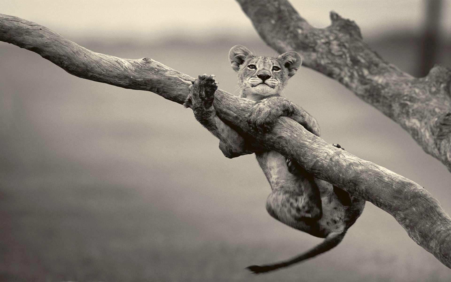 Lion Wallpaper 033