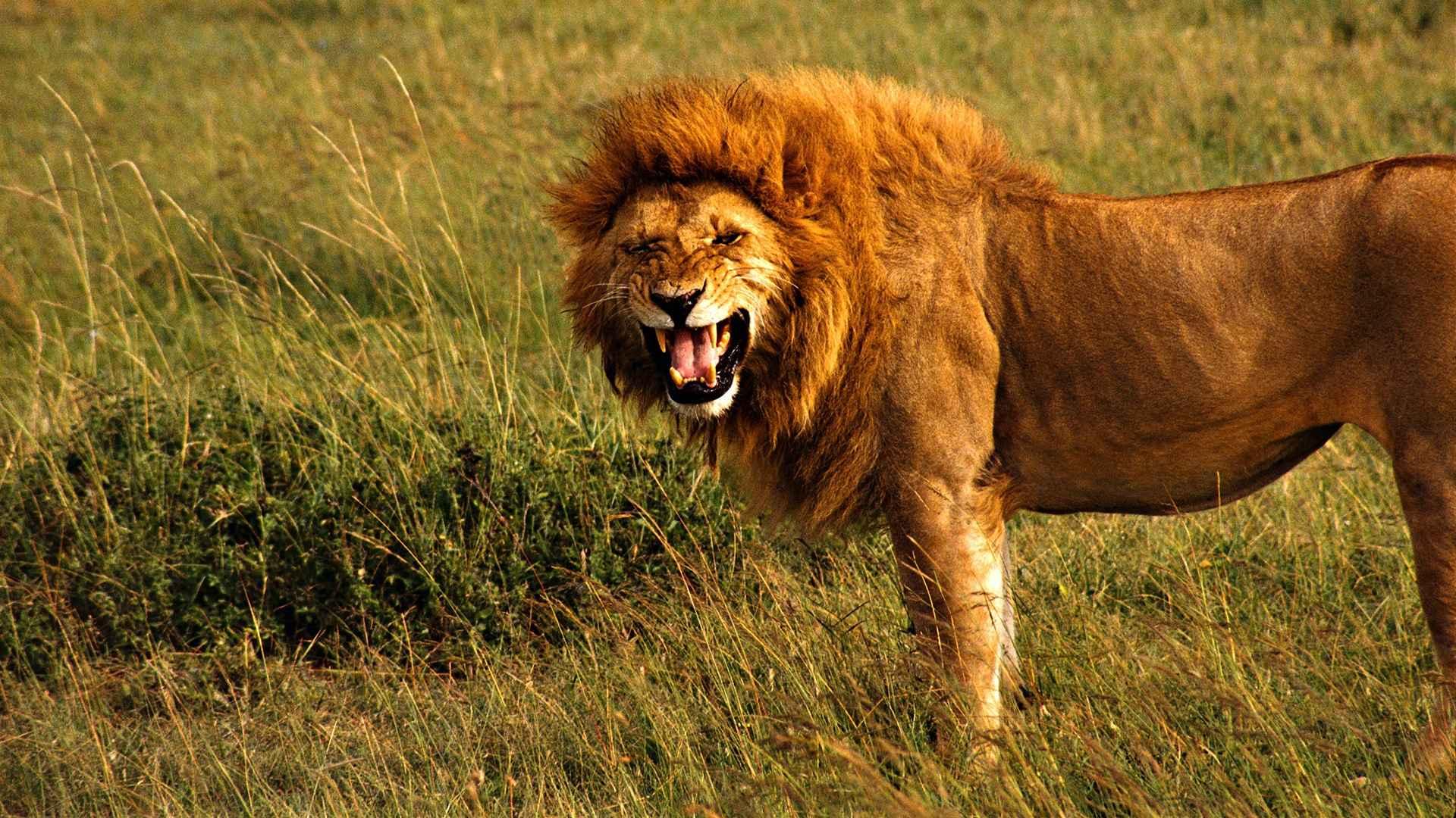 Lion Wallpaper 035