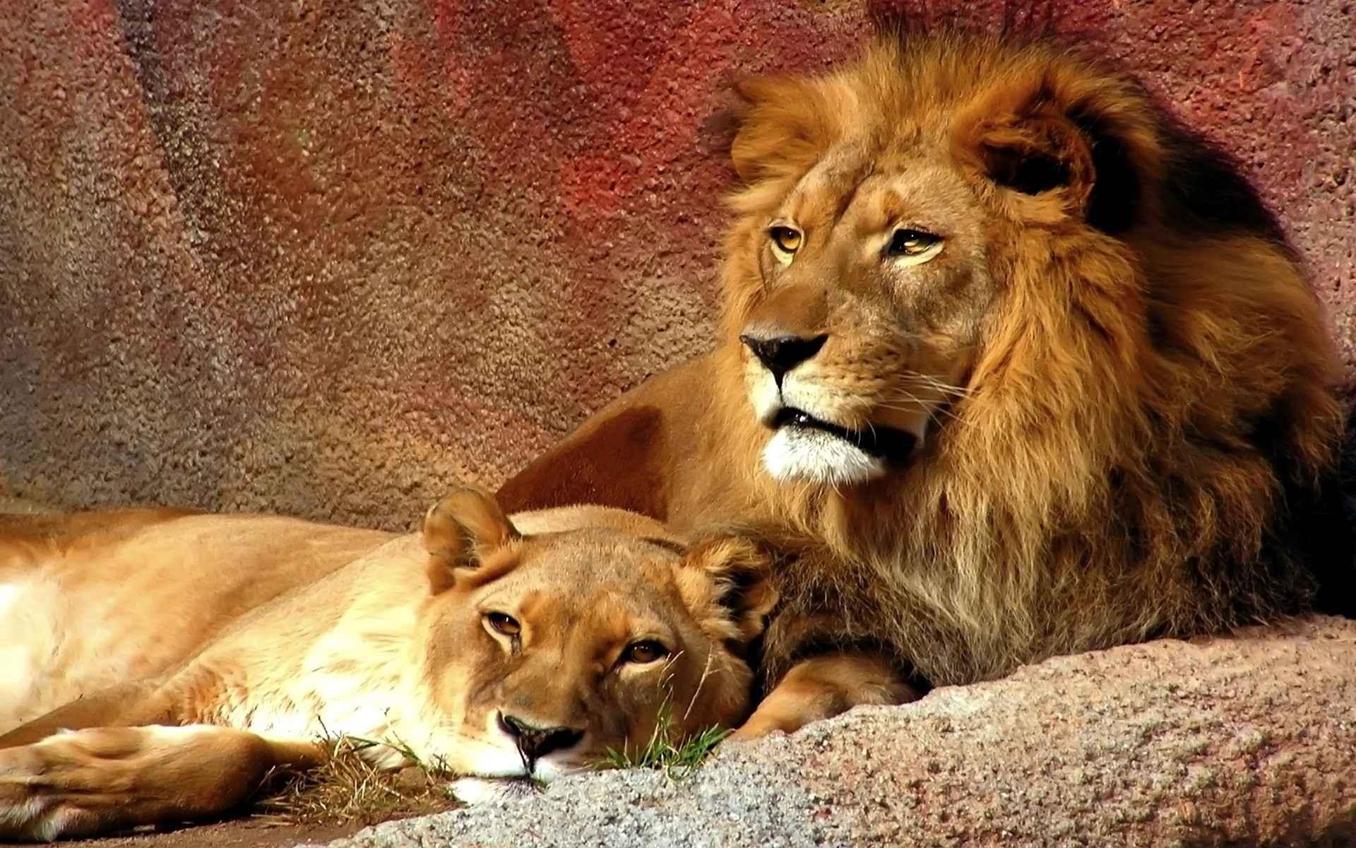 Lion Wallpaper 046