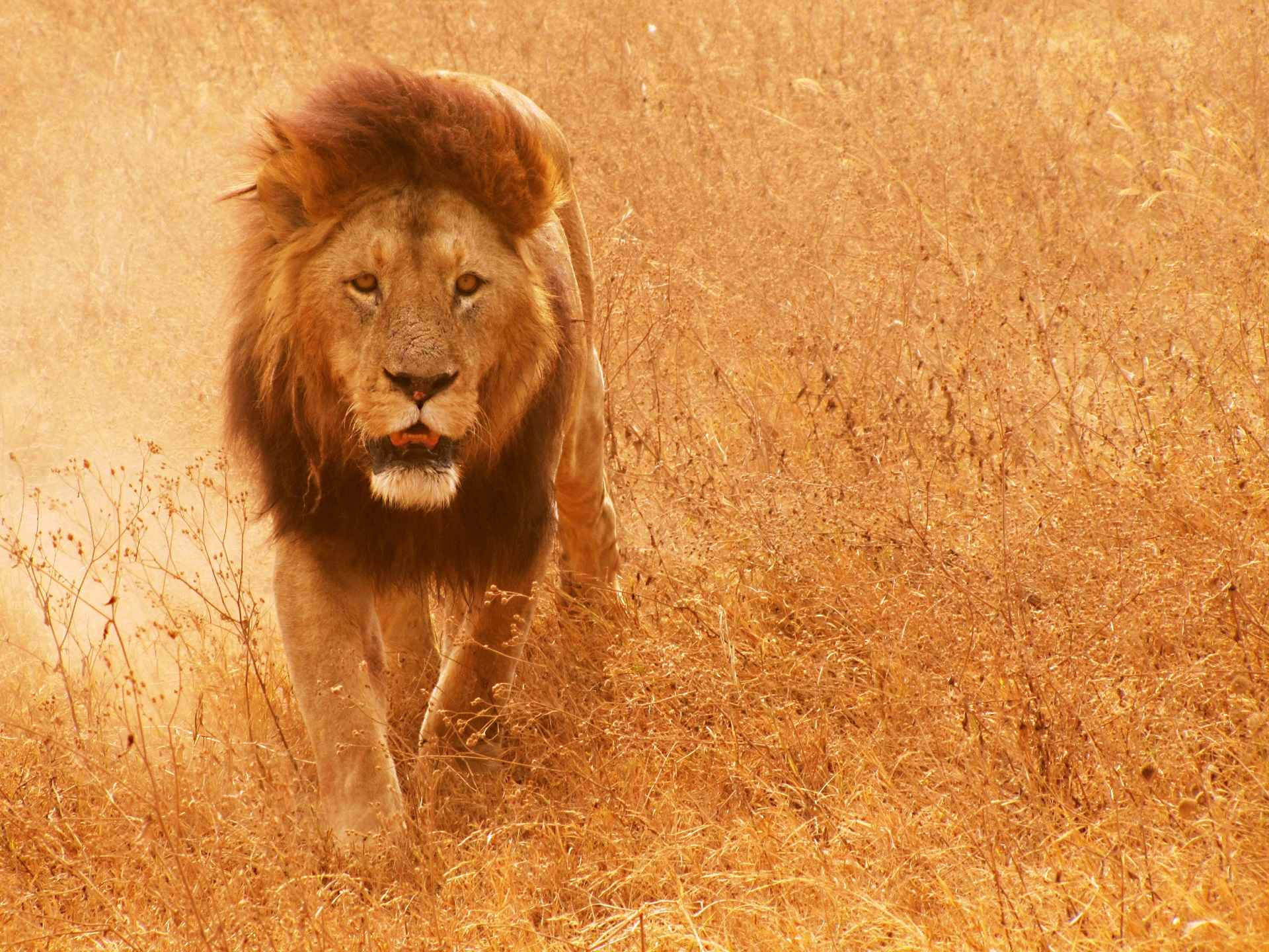 Lion Wallpaper 070