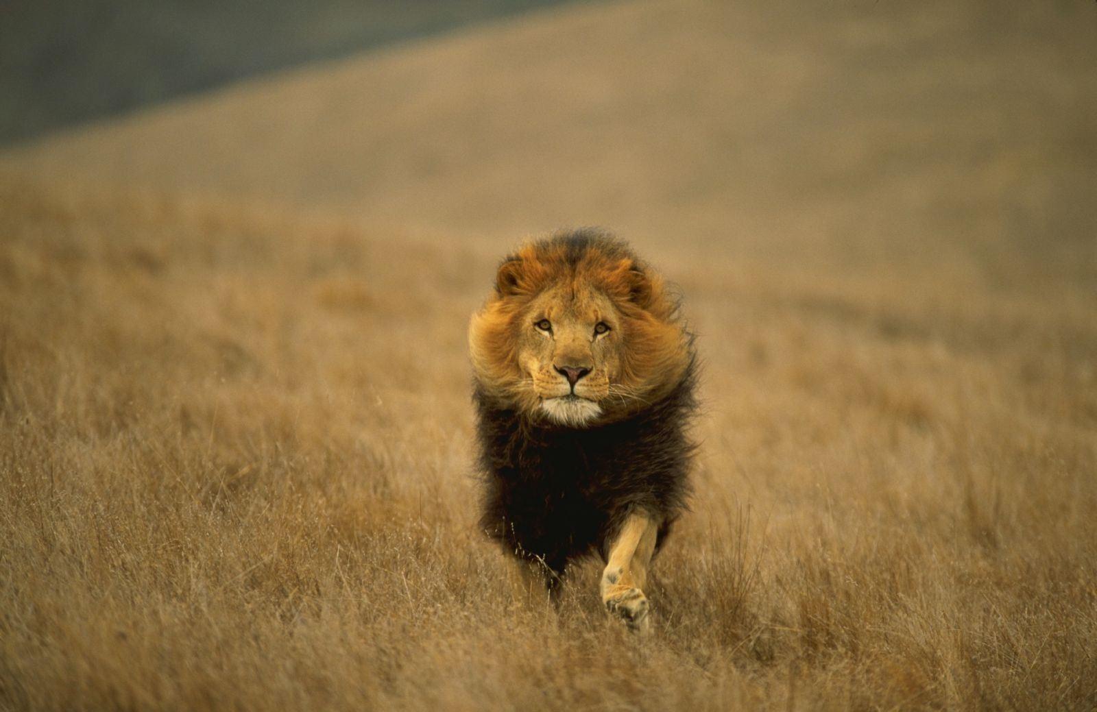 Lion Wallpaper 072