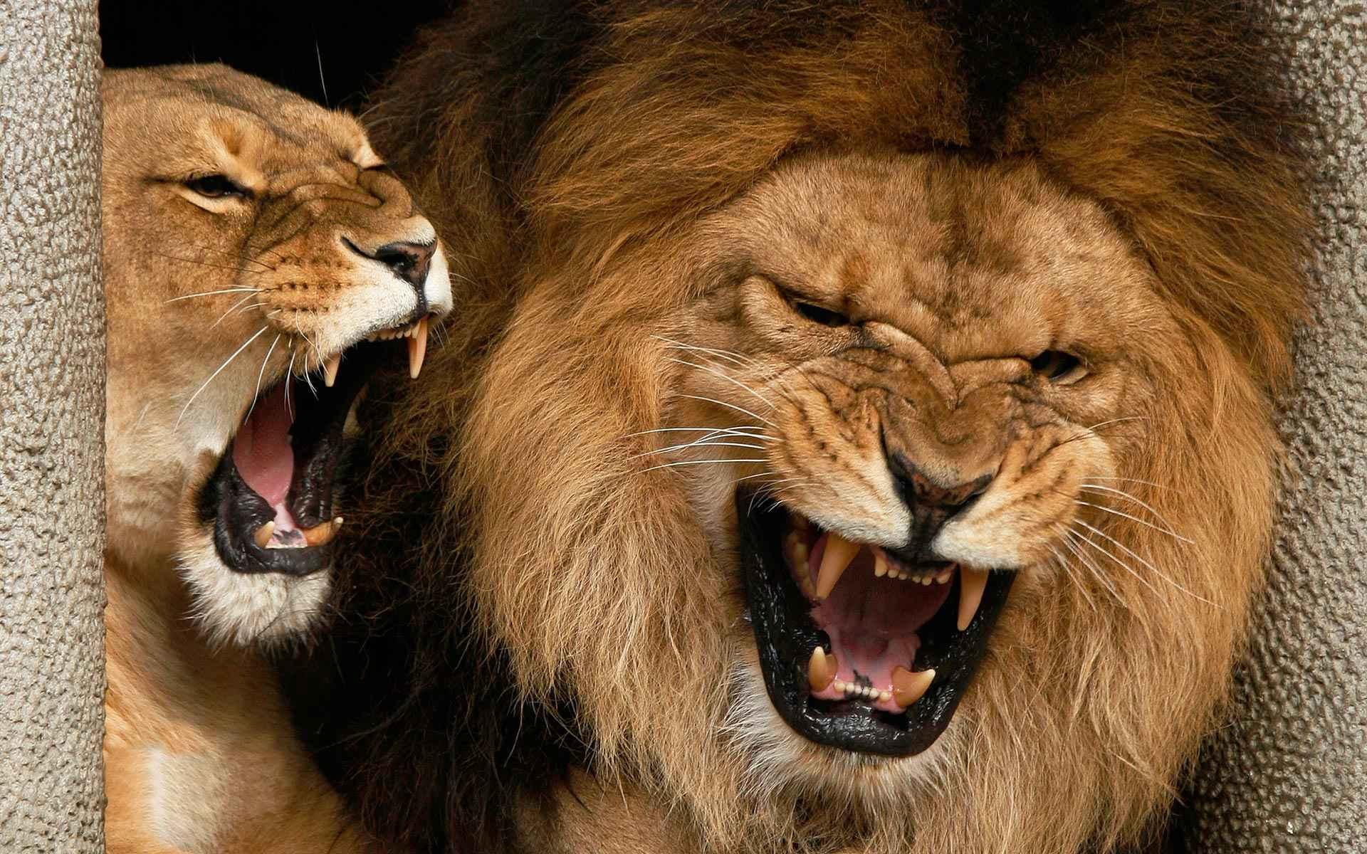 Lion Wallpaper 075