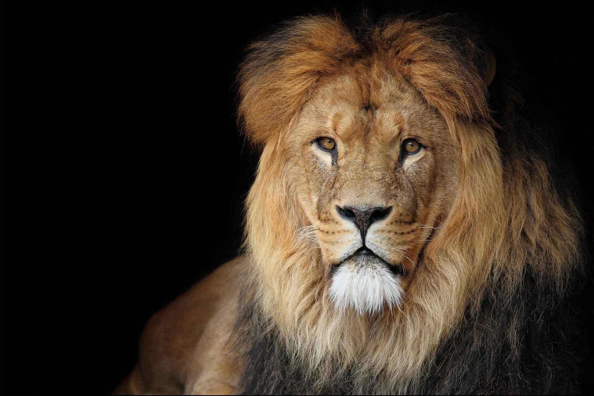 Lion Wallpaper 078