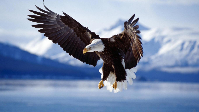 Eagle Wallpaper 11