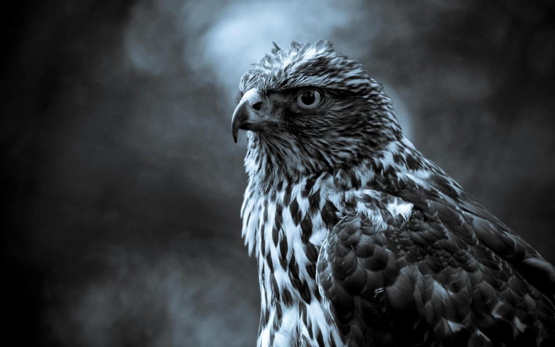 Eagle Wallpaper 16