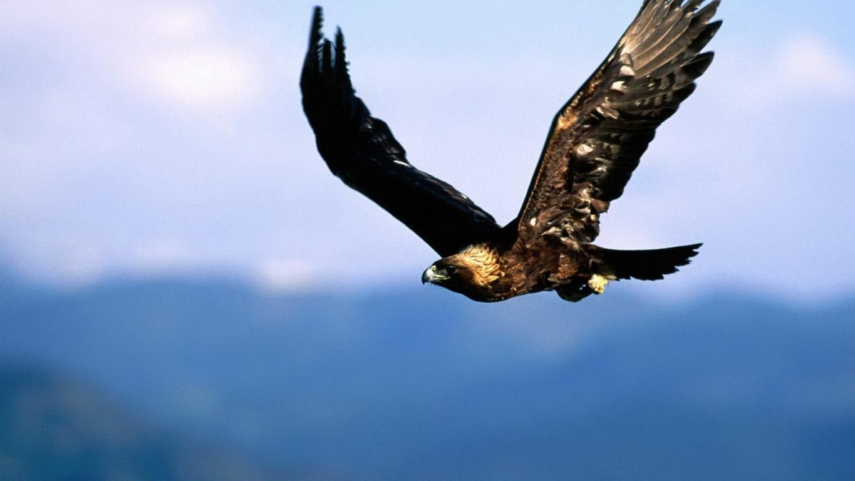 Eagle Wallpaper 18