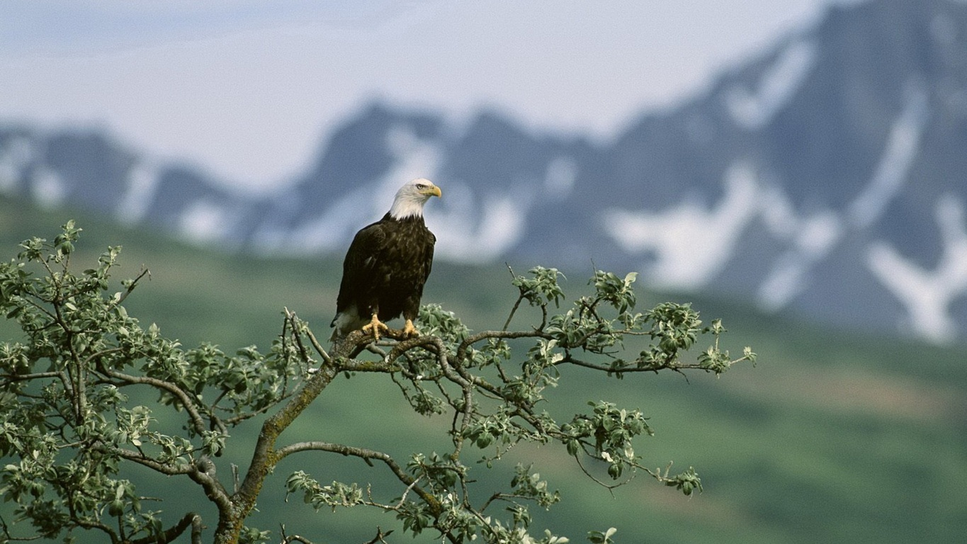 Eagle Wallpaper 22