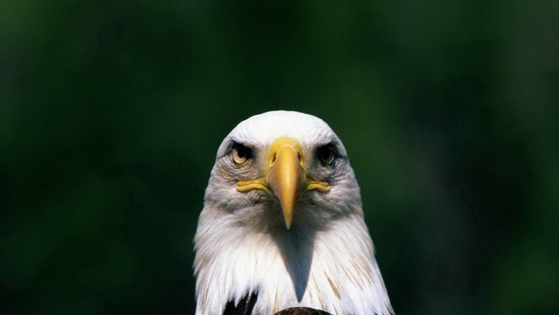 Eagle Wallpaper 23