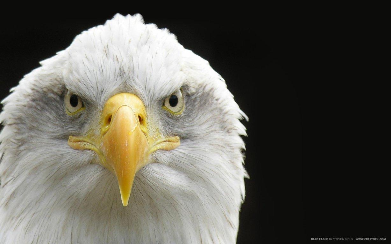 Eagle Wallpaper 33
