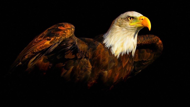 Eagle Wallpaper 35