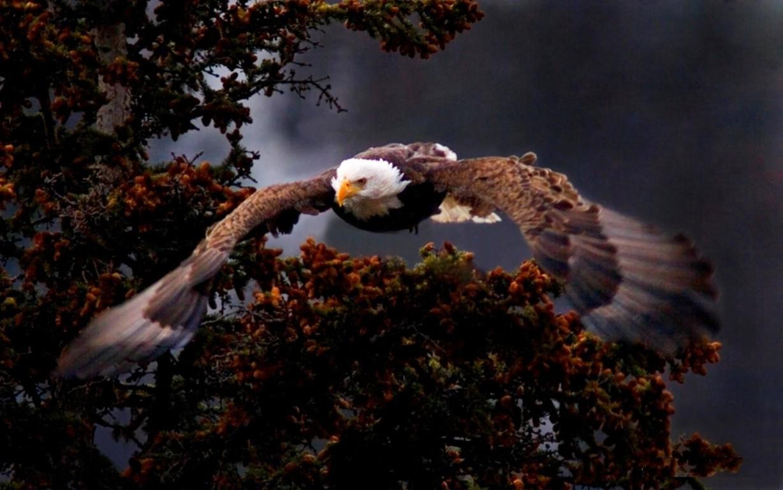 Eagle Wallpaper 38