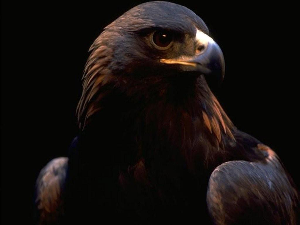 Eagle Wallpaper 46