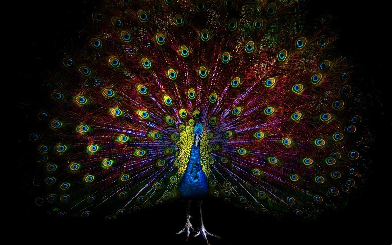 Peacock Wallpaper 11