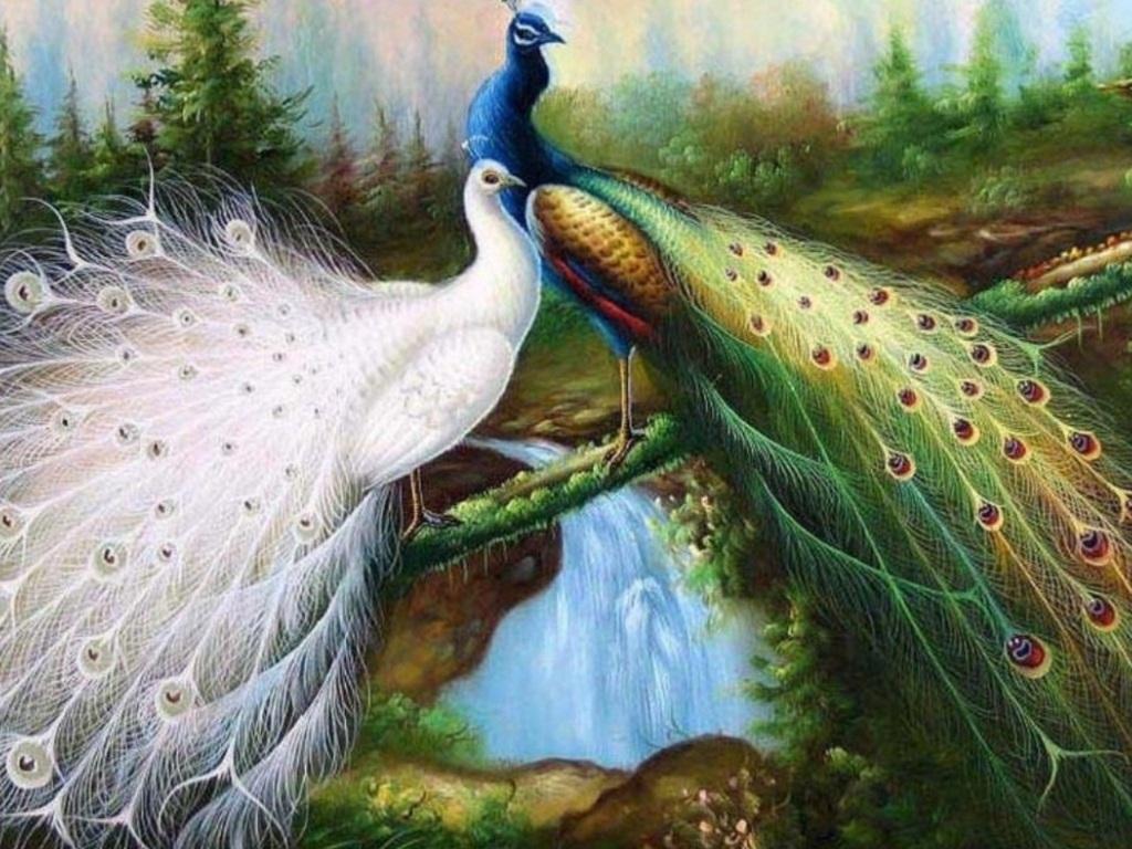 Peacock Wallpaper 16