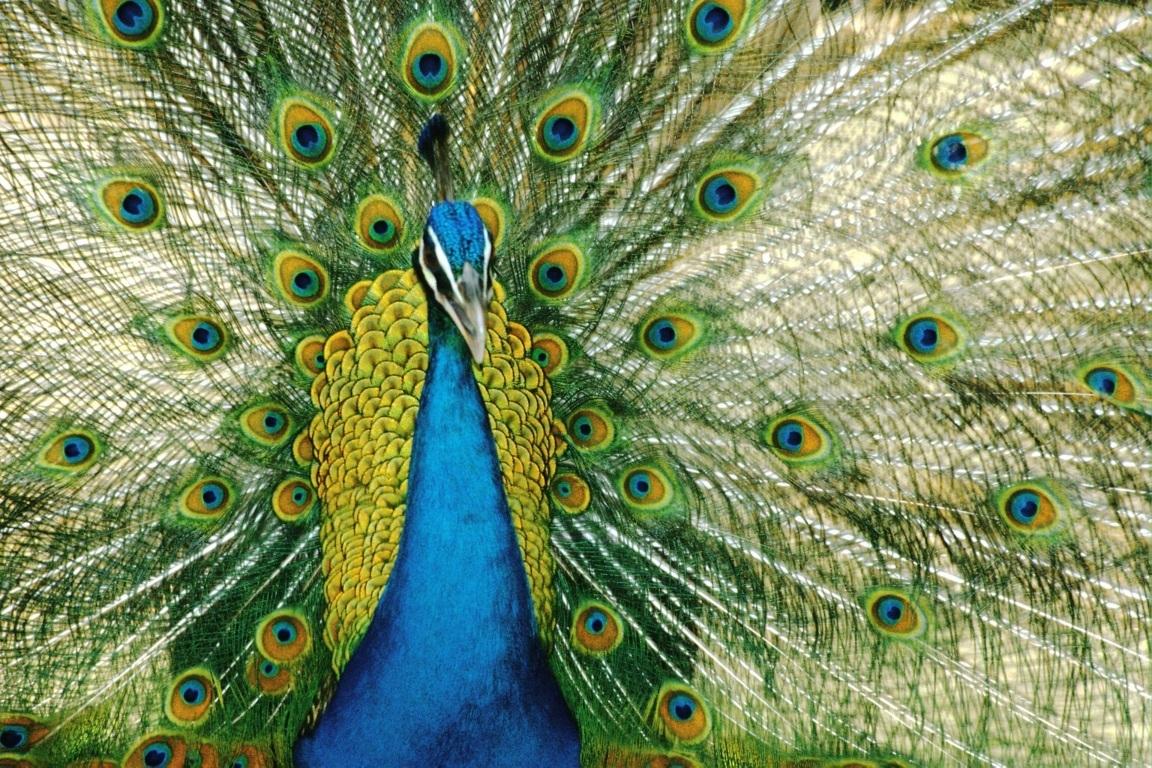 Peacock Wallpaper 2