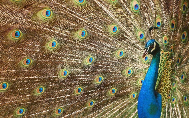 Peacock Wallpaper 8