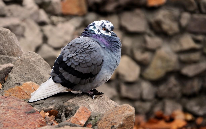 Pigeon Bird Wallpaper 13