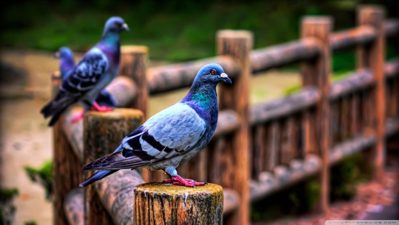 Pigeon Bird Wallpaper 15