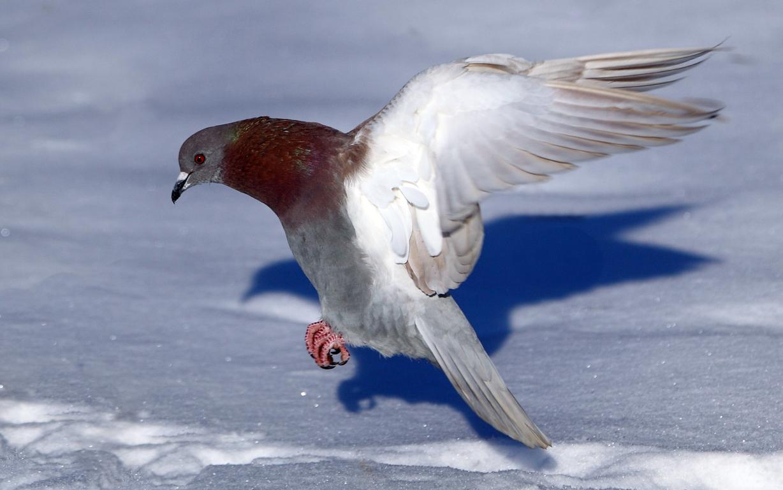 Pigeon Bird Wallpaper 2