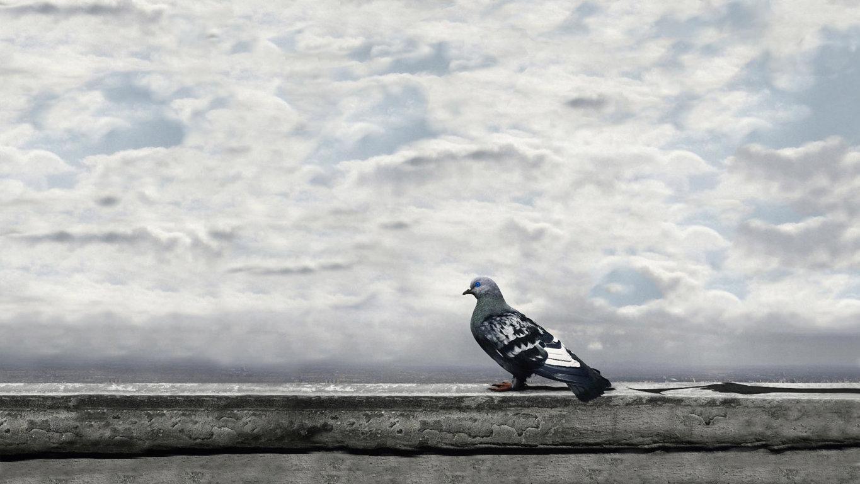 Pigeon Bird Wallpaper 8