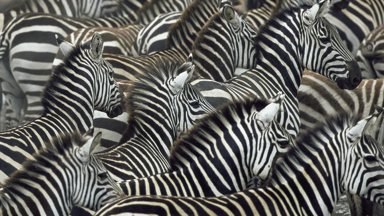 Zebra Wallpaper 26