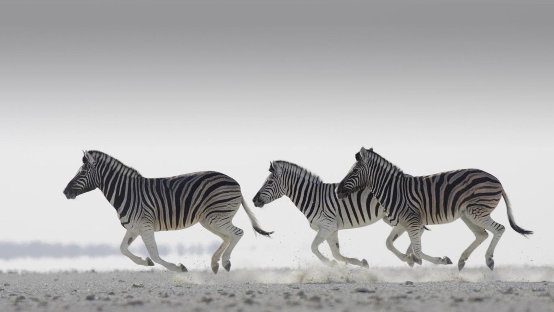 Zebra Wallpaper 28