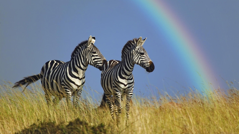 Zebra Wallpaper 31