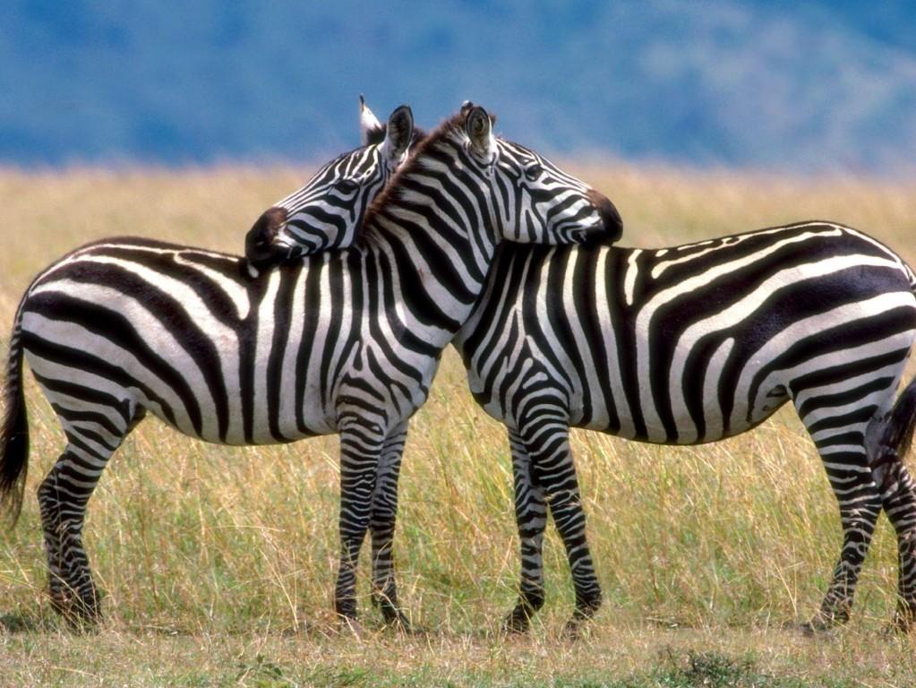 Zebra Wallpaper 36
