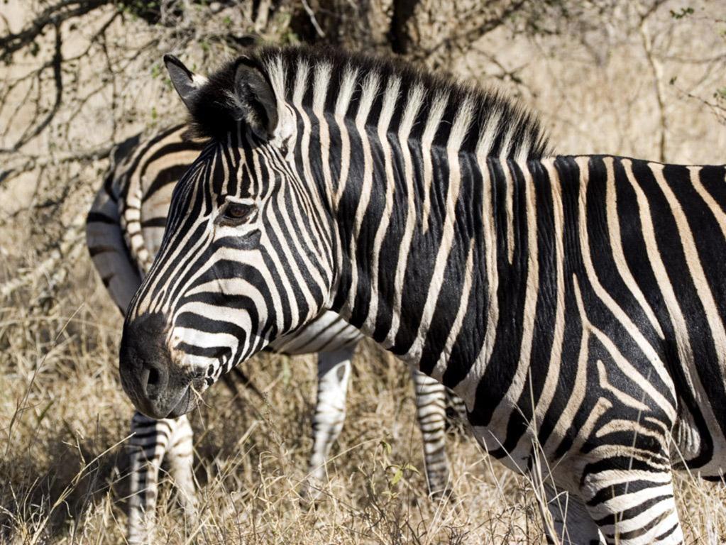 Zebra Wallpaper 37