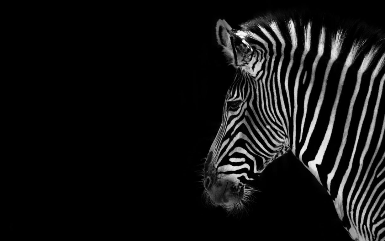 Zebra Wallpaper 38