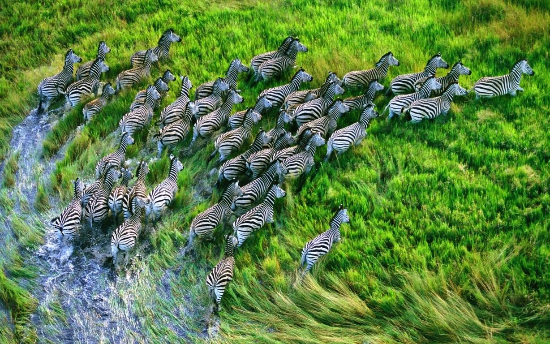 Zebra Wallpaper 6