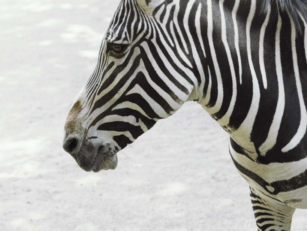Zebra Wallpaper 9