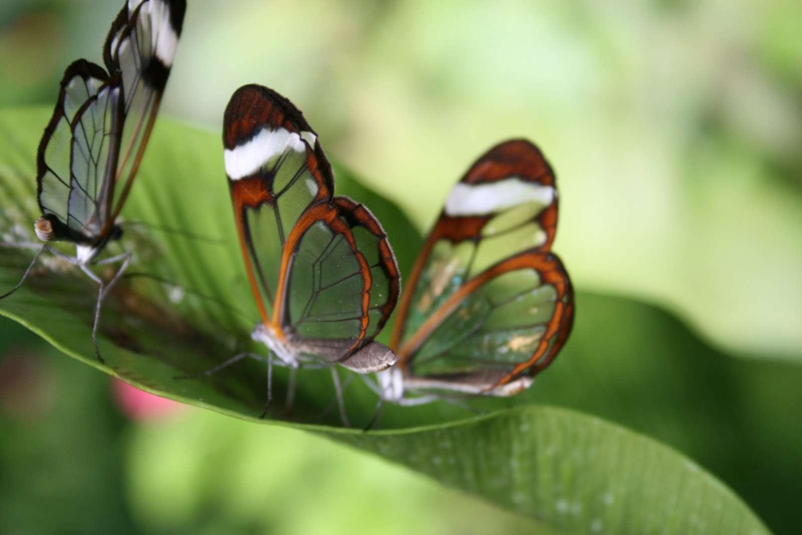 Butterfly Wallpaper 032