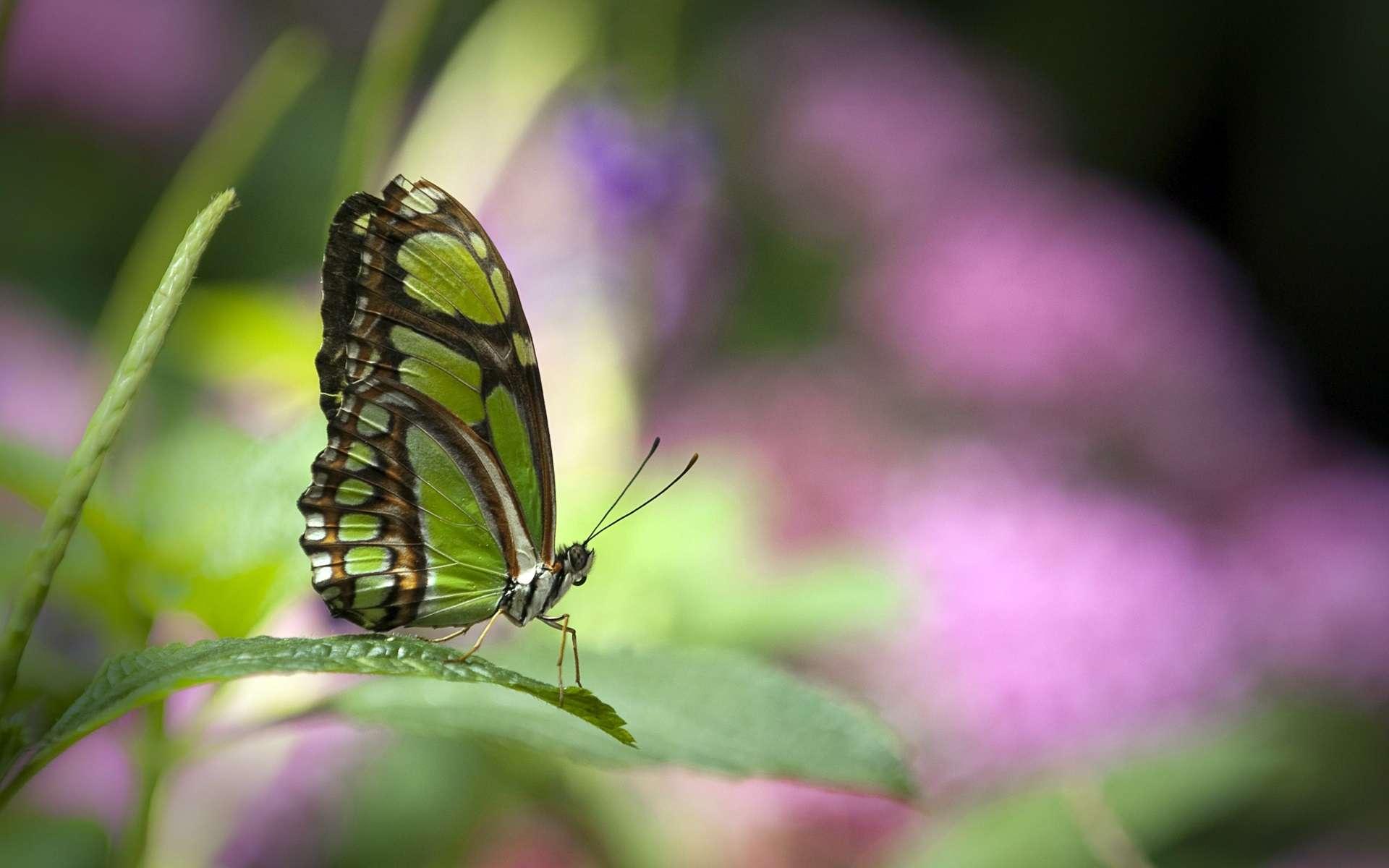 Butterfly Wallpaper 042