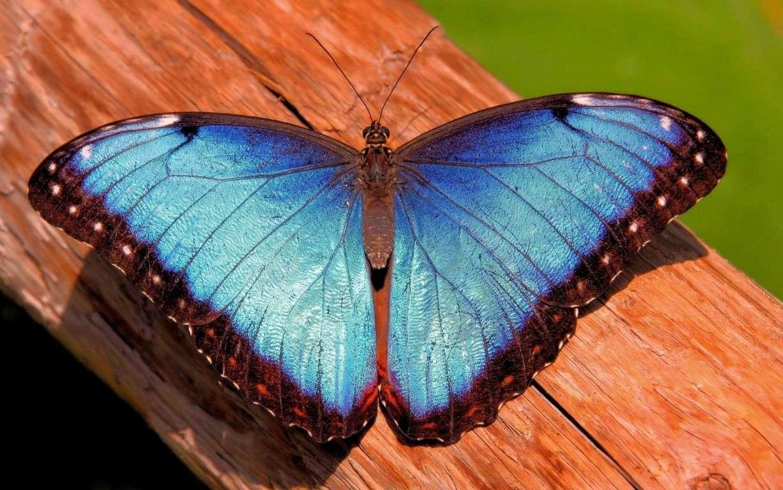 Butterfly Wallpaper 044