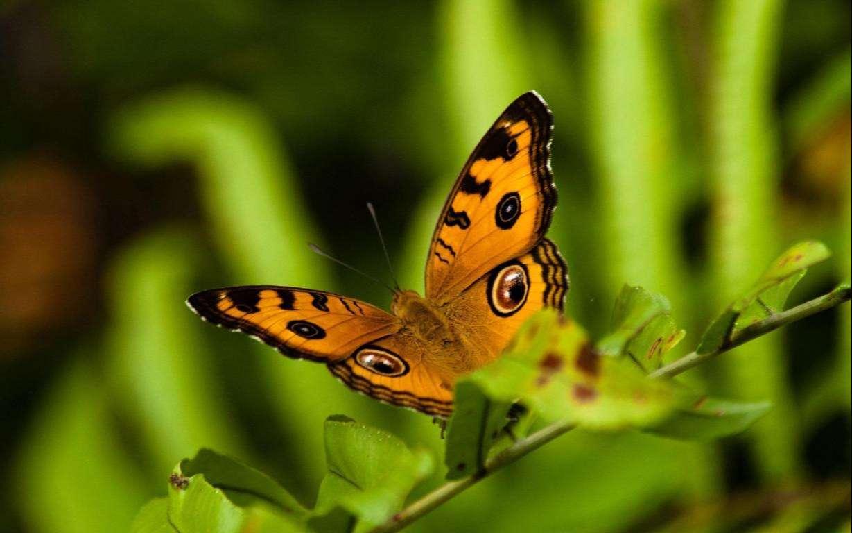 Butterfly Wallpaper 046