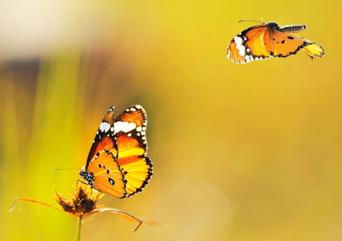 Butterfly Wallpaper 059