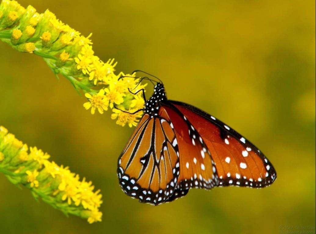 Butterfly Wallpaper 060
