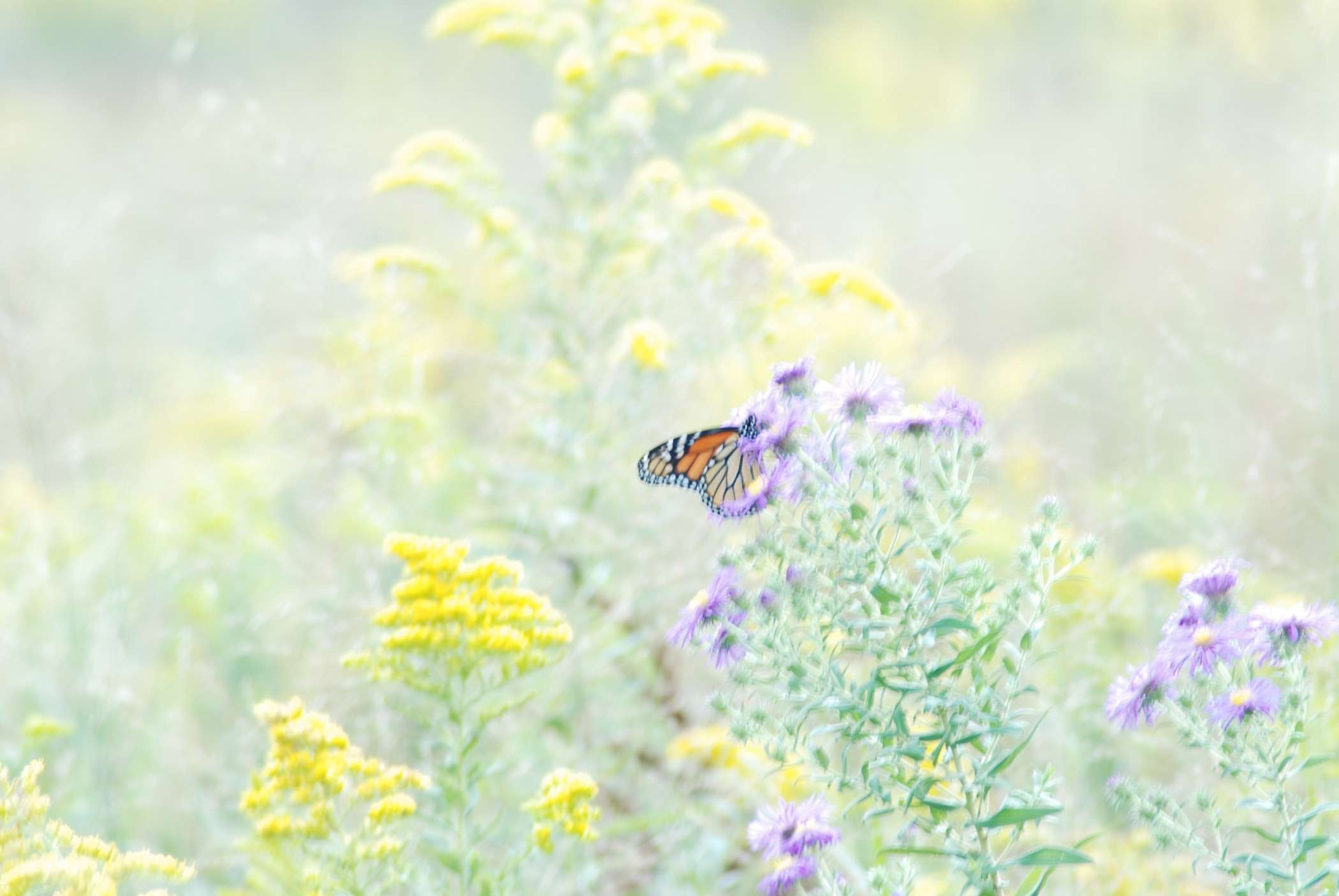 Butterfly Wallpaper 070