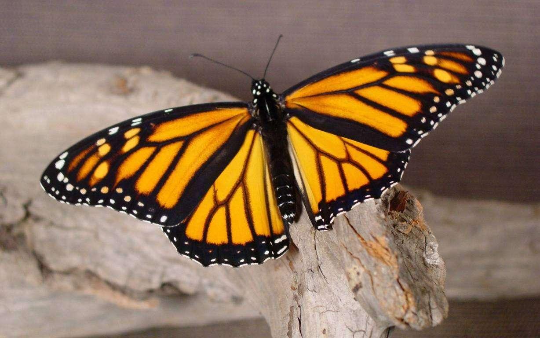 Butterfly Wallpaper 077