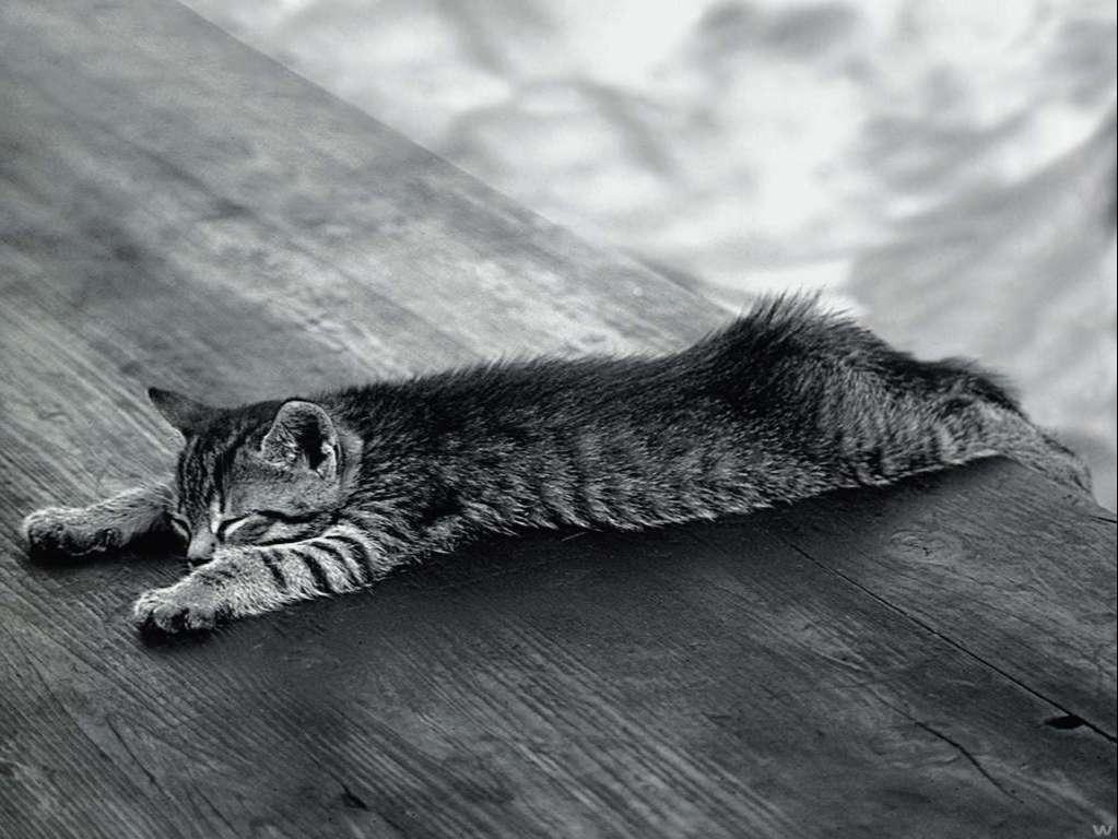 Cat Wallpaper 075
