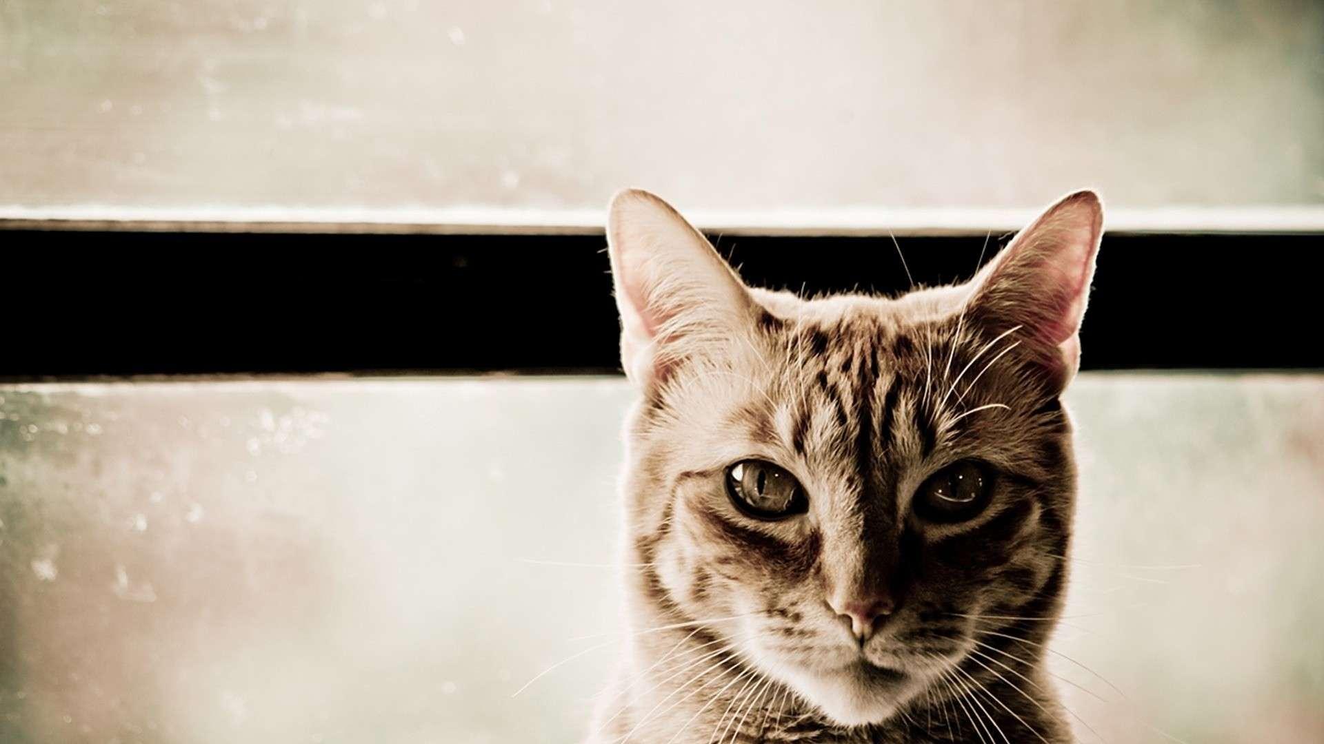 Cat Wallpaper 081