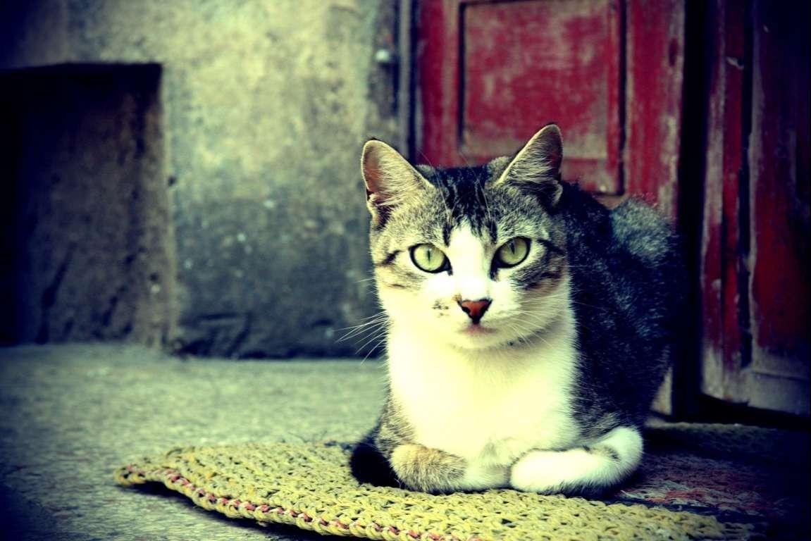 Cat Wallpaper 090